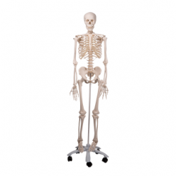 Skelet, Stan (170 cm)